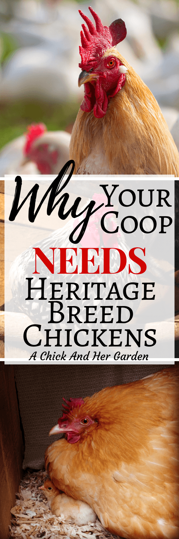I never realized how import it is to raise heritage breed chickens! I've already got Buff Orpingtons, but will definitely be adding more breeds! #savethechickens #raisingchickens #backyardchickens #sustainablechickens #homesteading #achickandhergarden