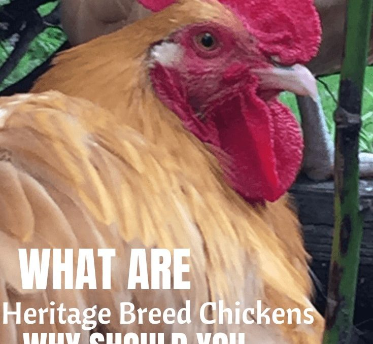 Did you know that heritage breed chickens are in danger of becoming extinct?? This is a great post on the benefits of keeping these chicken breeds thriving! #heritagechickens #backyardchickens #raisingchickens #homesteading #sustainablechickens #achickandhergarden