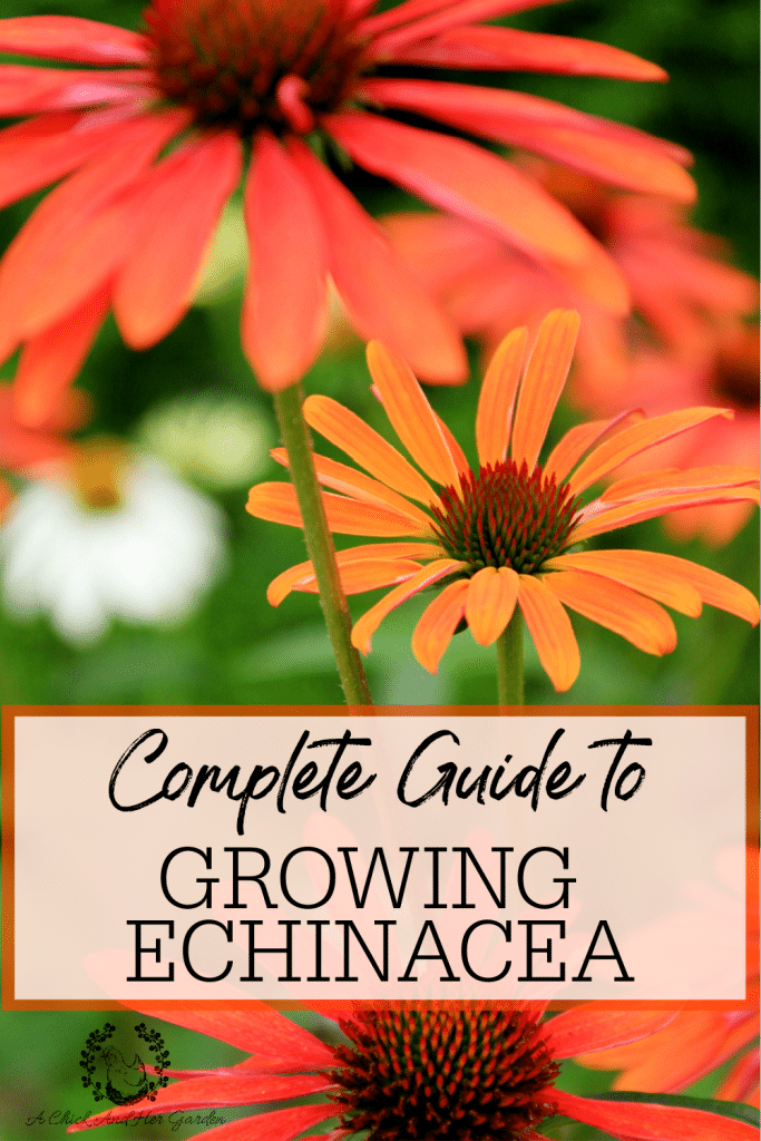 After discovering how many different varieties of echinacea there are, besides purple coneflower, I can't get enough of it! This post has been so helpful in planting my new echinacea plants! #coneflower #echinacea #gardening #springgardening #perennials #gardeningforbeginners #landscapegardening #achickandhergarden