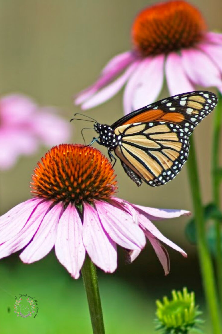 monarch butterfly drinking nectar from a coneflower