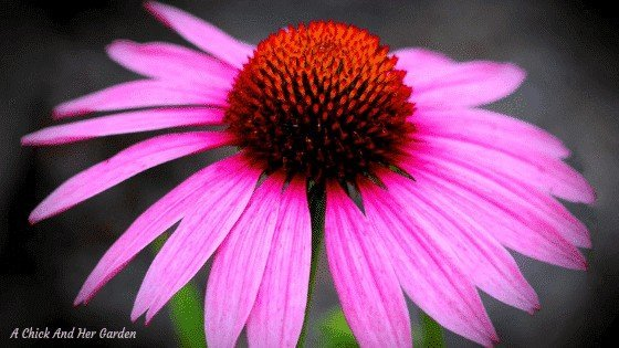 All About Growing Echinacea