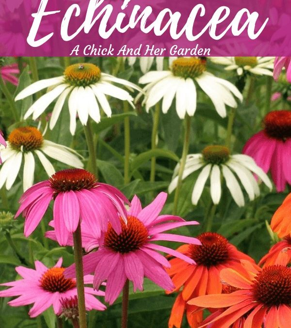 I can't wait for this summer when all the new colors of echinacea are blooming in my garden! Coneflower is one of my favorites! #coneflower #echinacea #healinggarden #cuttinggarden #flowergardens #achickandhergarden