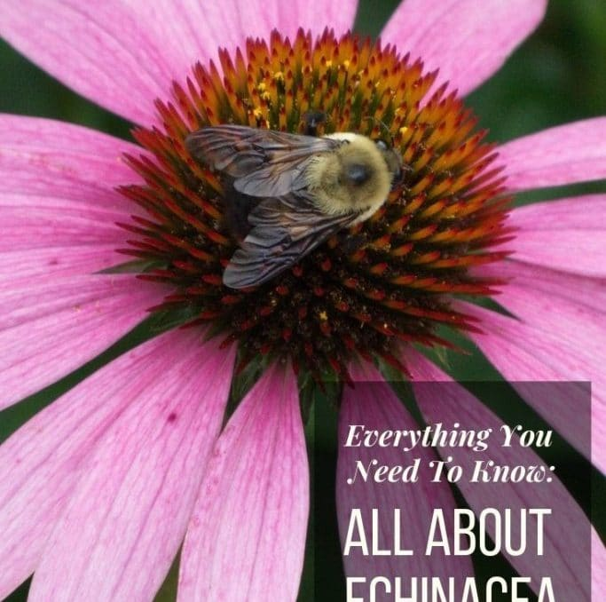 Echinacea used to be one of those flowers I didn't think much about, because you saw those purple cone flowers everywhere! Then I realized there were so many varieties and all of the benefits for growing them! Check them out in this post all about echinacea! #echinacea #coneflower #growingflowers #healingplants #healinggardens #herbs #herbgardens #gardening #achickandhergarden