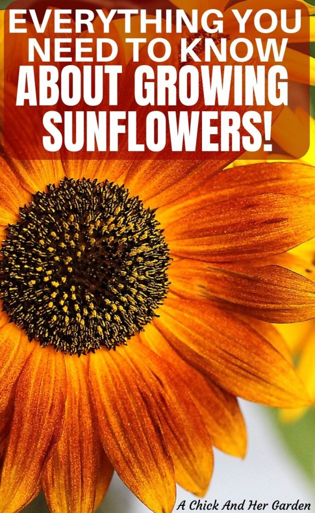 After reading her post, I don't know how I went so long without growing sunflowers! Sunflowers are so easy to grow in the the garden and I never realized how many uses they had on our homestead! #homesteadflowers #growingflowers #flowergarden #cuttinggarden #gardening #achickandhergarden