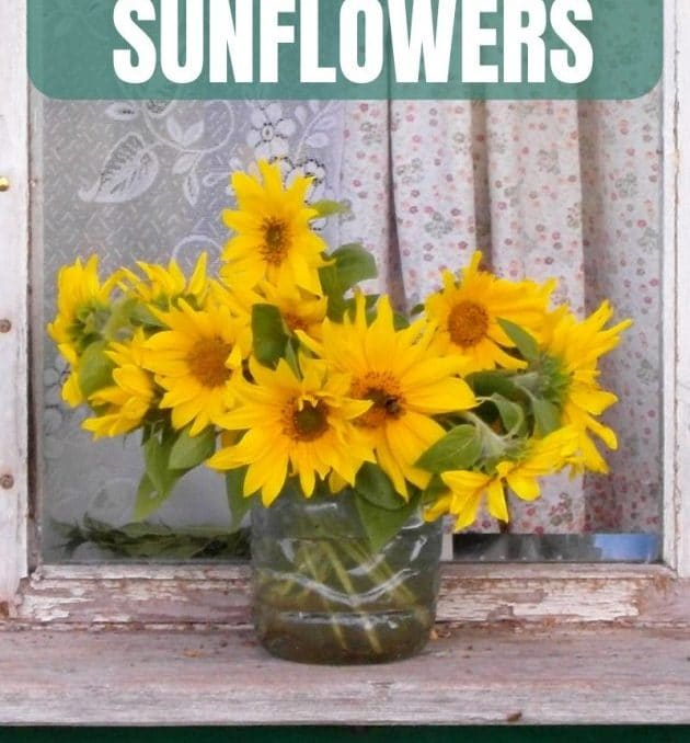 Who can resist a mason jar full of sunflowers?! I can and neither can my chickens! I love all of the reasons she gives for growing sunflowers in the garden. Plus she shows just how easy it is! #growingsunflowers #growingflowers #flowergardens #growingannuals #cuttinggarden #cutflowers #achickandhergarden
