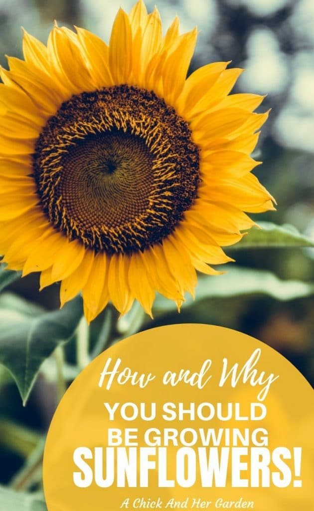 Sunflowers instantly make me think of summer! But I love all of the extra uses of sunflowers that she talks about in this post! I will definitely be growing sunflowers in our garden every summer! #growsunflowers #cuttinggarden #vegetablegardening #growflowers #gardening #achickandhergarden