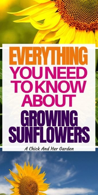 I've always loved sunflowers! I'm so glad I found these tips! Every summer we get to watch our sunflowers swaying in the garden! #growingflowers #gardening #sunflowers #homesteadgarden #annualflowers #achickandhergarden
