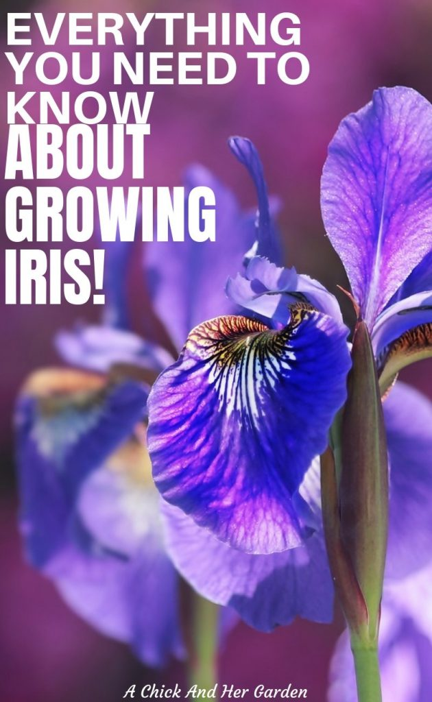 Learning how to grow Iris was one of the easiest things when I first started gardening! This post is a great breakdown of just how easy Iris is to grow as a Spring perennial! #springflowers #growingflowers #perennials #growingiris #springgardening #gardeningforbeginners #achickandhergarden