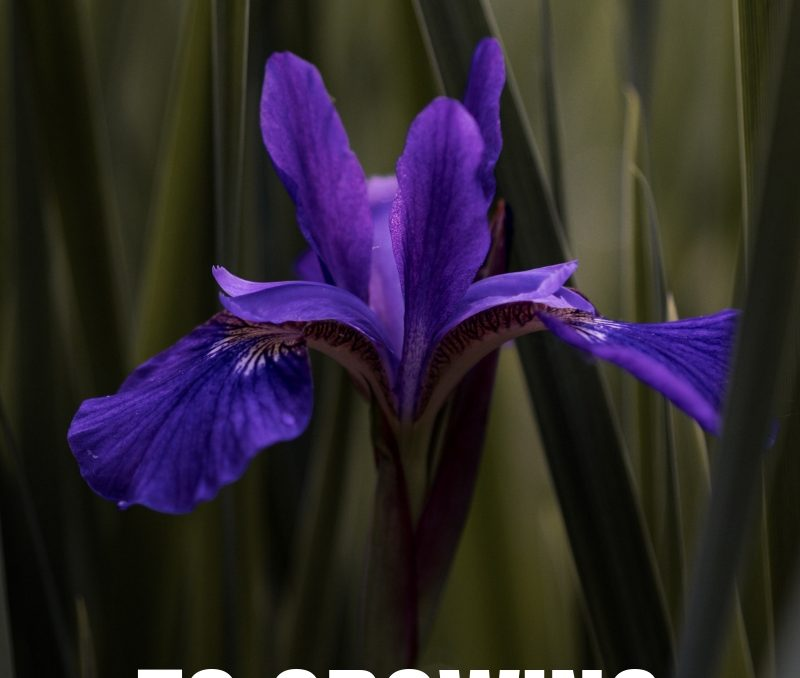 Iris is one of my favorite flowers to see come up in the Spring! It's also perfect for our clay based soil! This post is perfect for learning how to grow this Spring perennial! #springflowers #springperennials #springgardeningforbeginners #gardeningforbeginners #landscapegardening #achickandhergarden