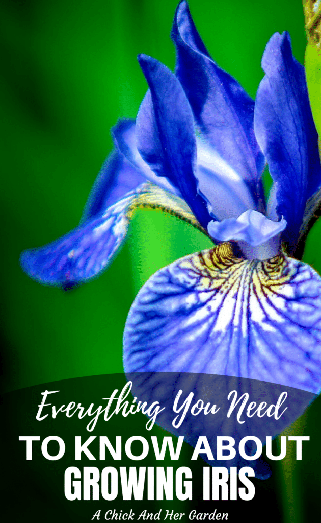 Learning how to grow Iris was one of the easiest things when I first started gardening! This post is a great breakdown of just how easy Iris is to grow as a Spring perennial! #springflowers #growingflowers #perennials #growingiris #springgardening #gardeningforbeginners