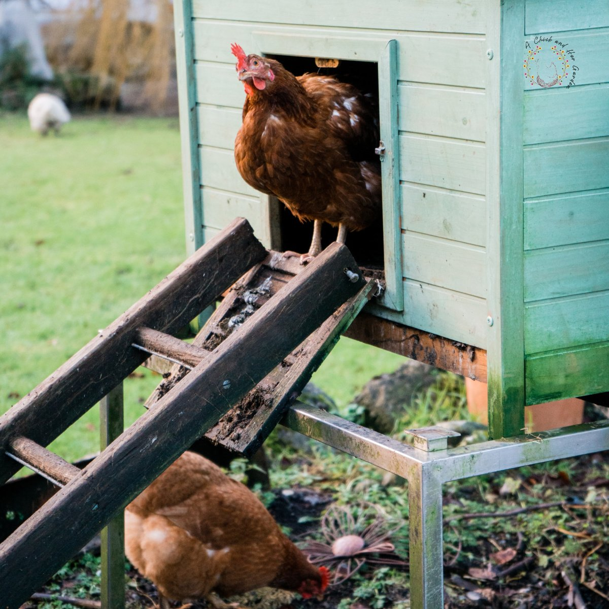 light green chicken coop with a ladder for a ramp and one chicken peeking out of the door and another on the ground under the ladder